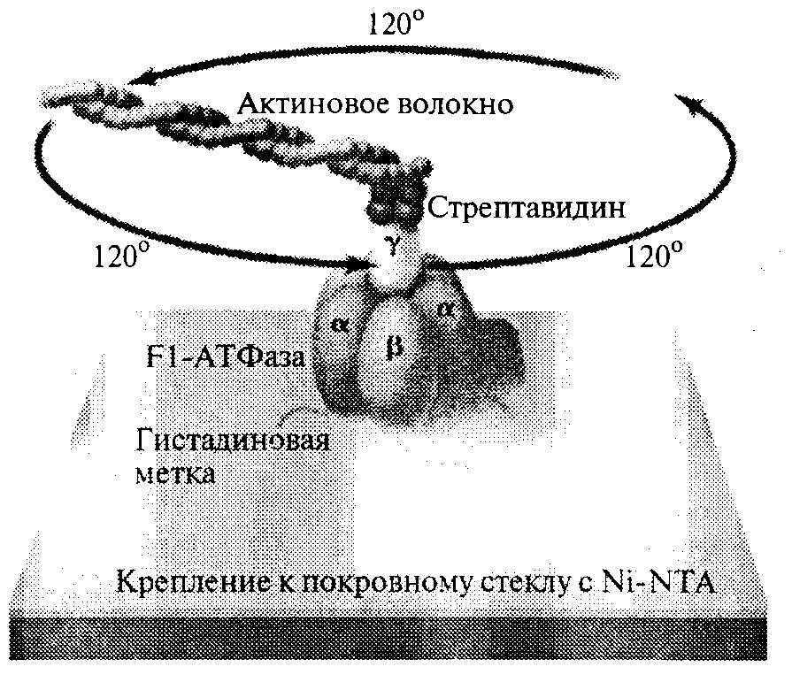 Молекулярный протеиновый двигатель Fl-АТФаза