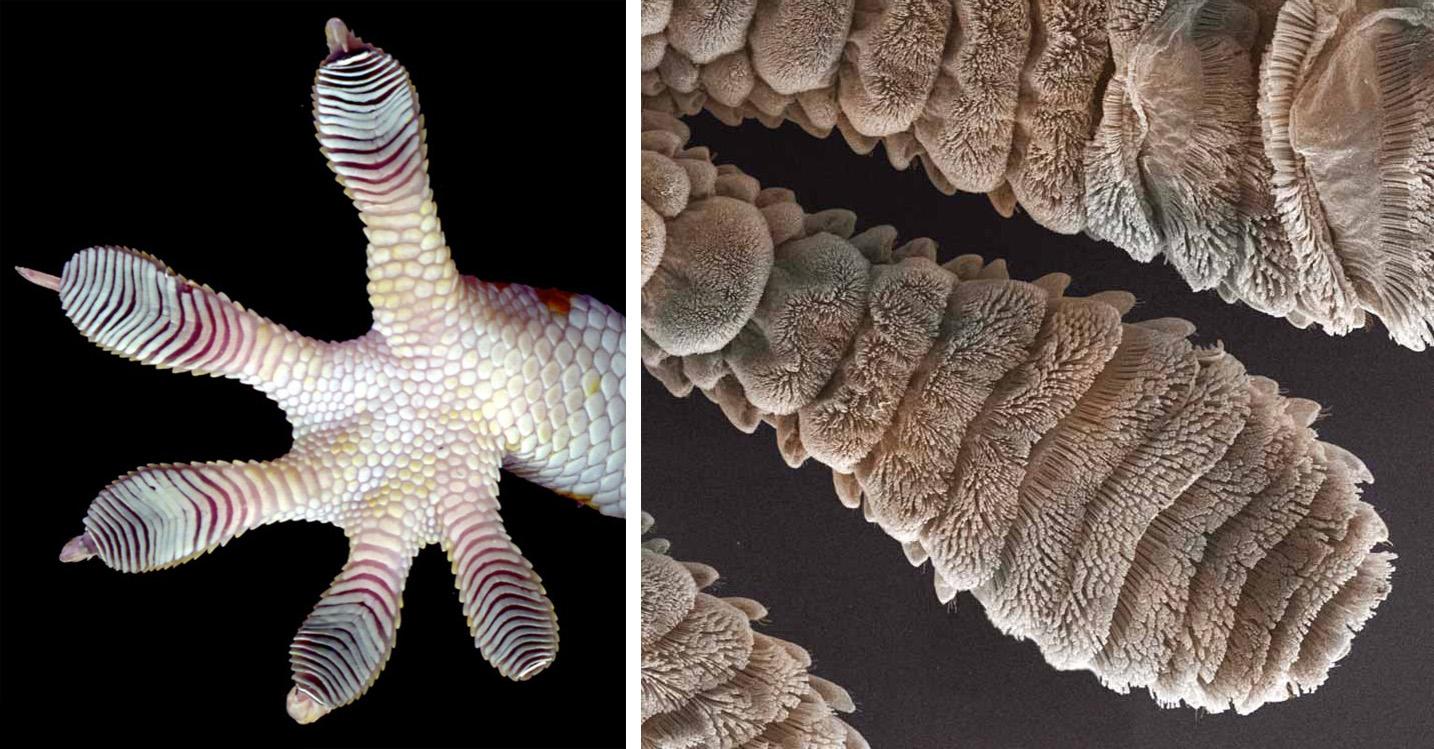 Лапка геккона при многократном увеличении