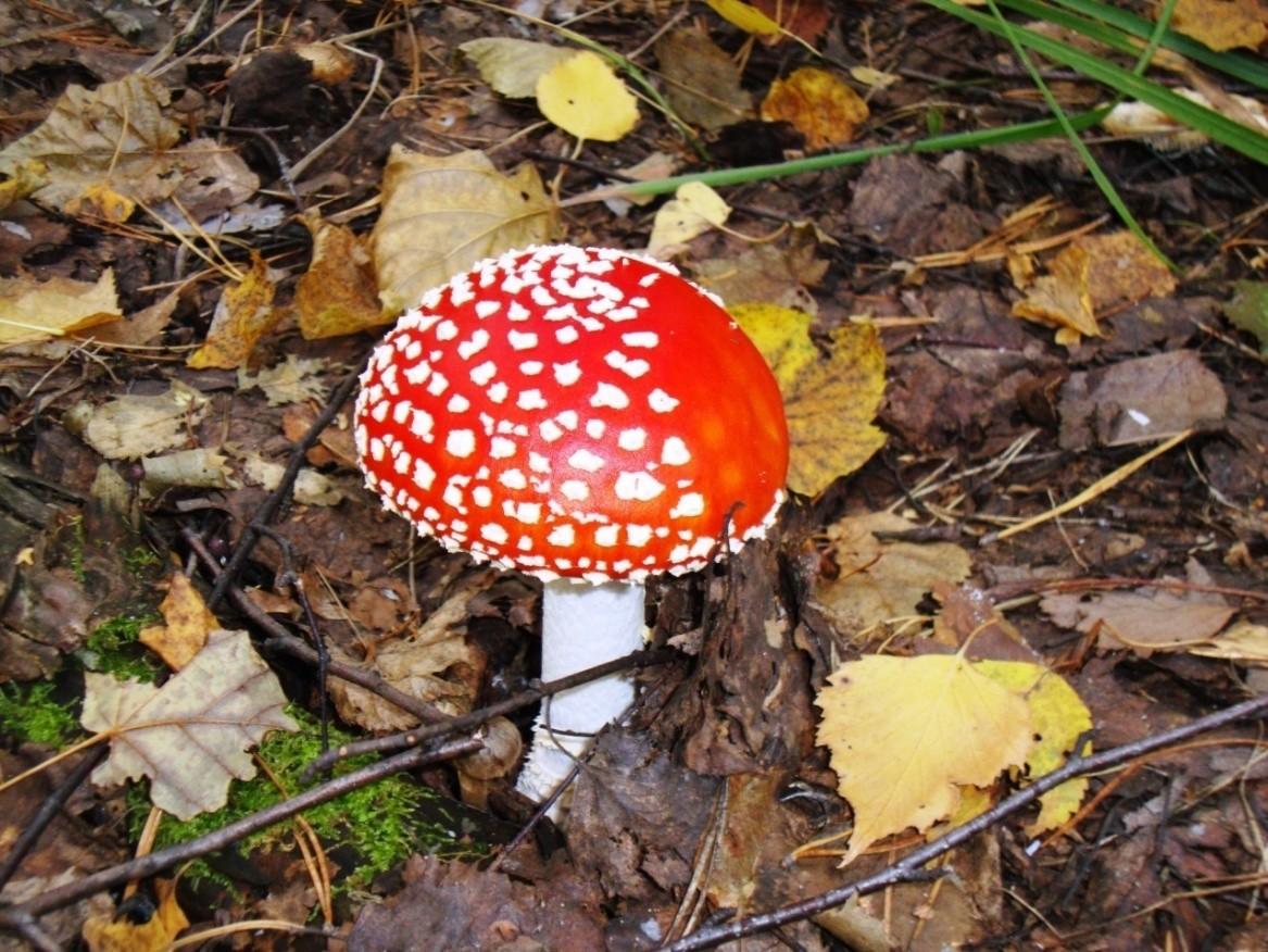 Мухомор красный – ядовитый гриб