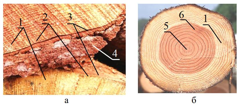 строение древесного ствола и коры