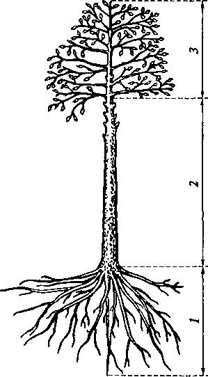 Части растущего дерева