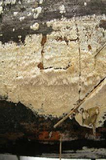 Домовый грибок